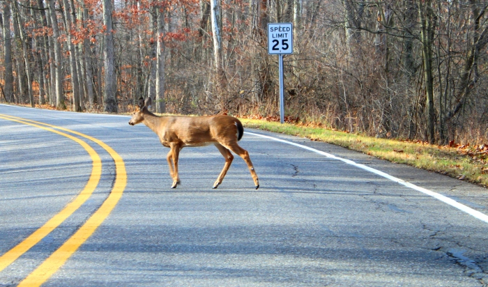 deer accident nj